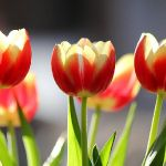 Tulpen op wordpress website